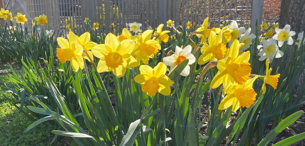 BIP Daffodils